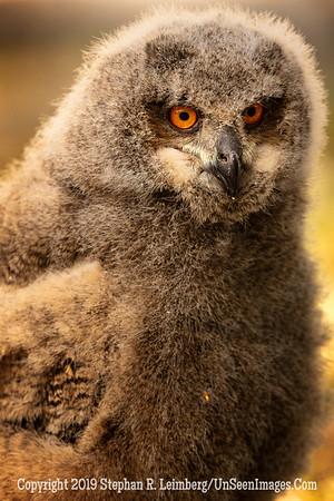 Owl Ain't I Cuddly - Copyright 2018 Steve Leimberg UnSeenImages Com _Z2A2246