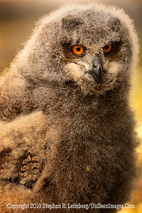 Owl Ain't I Cuddly - Copyright 2018 Steve Leimberg UnSeenImages Com _Z2A2246
