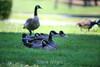 Canada Geese - Vasona Park (63) D