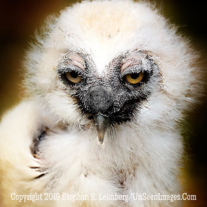 Eagle Owl Chick - UP CLOSE Copyright 2018 Steve Leimberg UnSeenImages Com _Z2A2294