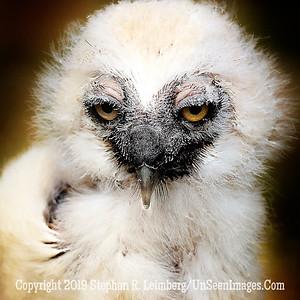Eagle Owl Chick - UP CLOSE Copyright 2018 Steve Leimberg UnSeenImages Com _Z2A2294