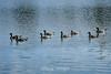 Canada Geese - Vasona Park (28) D
