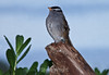 White-crowned Sparrow #7044