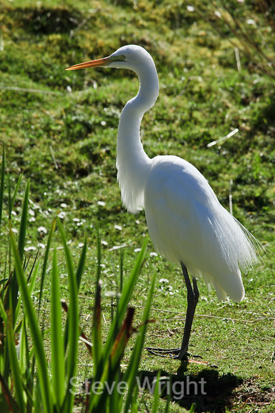 Great Egret -SF Zoo (4794)
