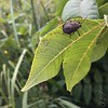 """Stink Bug""<br /> Halyomorpha sp.<br /> Wetland Trail <br /> Shaw Nature Reserve <br /> 09/07/17"