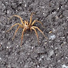 Wolf Spider <br /> St. Stanislaus Conservation Area