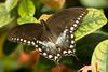 BZ_spicebush_Swallowtail_002