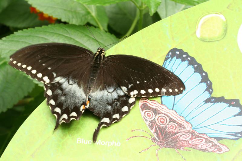 Spicebush Swallowtail (BZ)