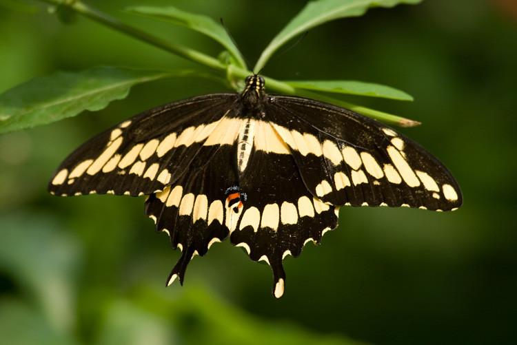 bronxzoo_Giant_Swallowtail_001