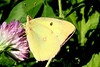 Clouded Yellow (QBG)