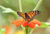 monarch_4074