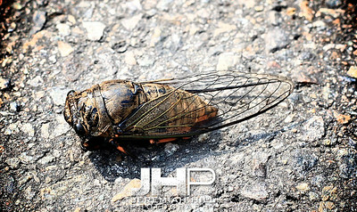 """Haebongcheon Cicada"", Seoul, South Korea, 2009 Print KOR3B-713-237"