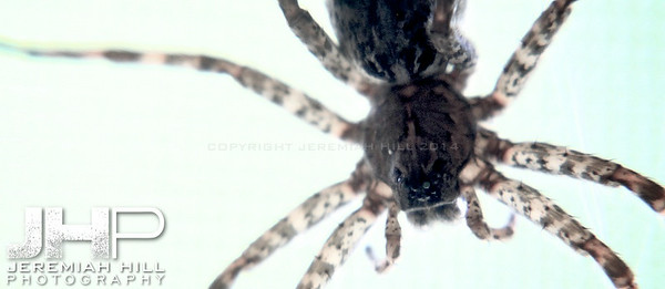"""Random Giant Spider in Hillsdale #4"", Hillsdale, ON, Canada, 2012 Print JP12-611-014V2"