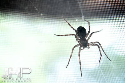 """Random Giant Spider in Hillsdale #2"", Hillsdale, ON, Canada, 2012 Print JP12-611-011"