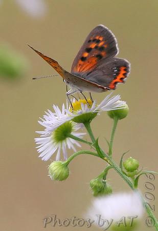 Butterflies of Japan
