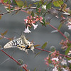 Ki-Ageha<br /> Asian Swallowtail<br /> Yokosuka, Japan