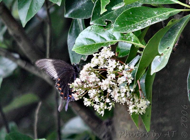 Karasu-ageha<br /> This species is widespread in East Asia.<br /> Yokosuka, Japan