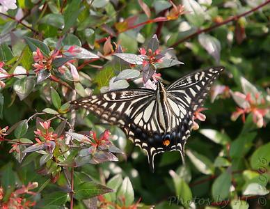 Ageha Asian Swallowtail Yokosuka, Japan