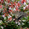 Ki-Ageha<br /> Asian Swallowtail<br /> Yokosuka, Japan
