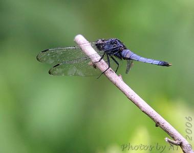 Shiokara  Dragonflies of Japan