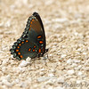Red-spotted Purple <br /> Creve Couer Marsh <br /> 6/30/15