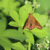 Silver-spotted Skipper <br /> Cora Island <br /> Big Muddy National Fish and Wildlife Refuge
