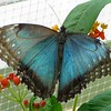 Blue Morpho Butterfly <br /> Butterfly House <br /> Missouri Botanical Garden