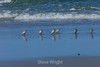 Sand Pipers - 17 Mile Drive #0973
