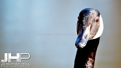 """High Park Goose #1"", Toronto, ON, Canada, 2011 Print JP11-49-095"
