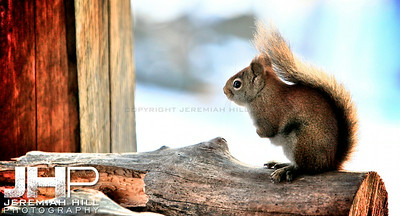 """Squirrel #1"", Hillsdale, ON, Canada, 2012 Print JP12-111-055"