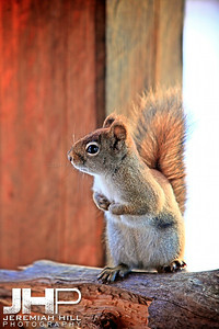 """Squirrel #3"", Hillsdale, ON, Canada, 2012 Print JP12-111-073"