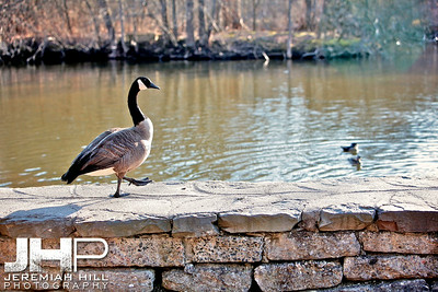 """High Park Goose #4"", Toronto, ON, Canada, 2011 Print JP11-49-114"