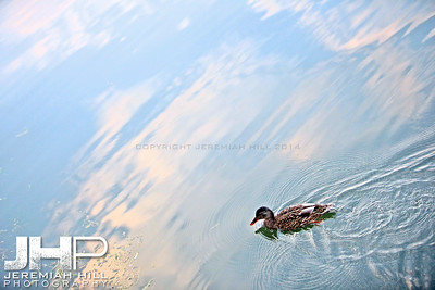 """Couchiching Duck #5"", Orillia, ON, Canada, 2011 Print JP11-93-352"