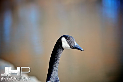 """High Park Goose #3"", Toronto, ON, Canada, 2011 Print JP11-49-111"