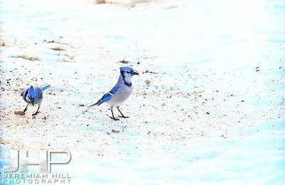 """Blue Jays #1"", Hillsdale, ON, Canada, 2012 Print JP12-111-028"