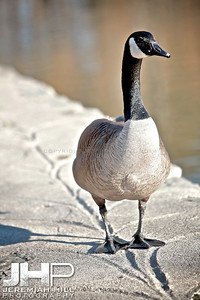 """High Park Goose #2"", Toronto, ON, Canada, 2011 Print JP11-49-102"