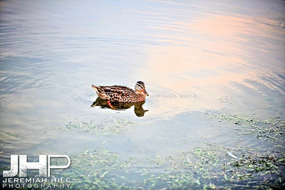 """Couchiching Duck #1"", Orillia, ON, Canada, 2011 Print JP11-93-263"