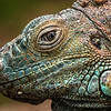 The Eye of The Iguana