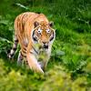 Tiger, Tiger Burning Bright!