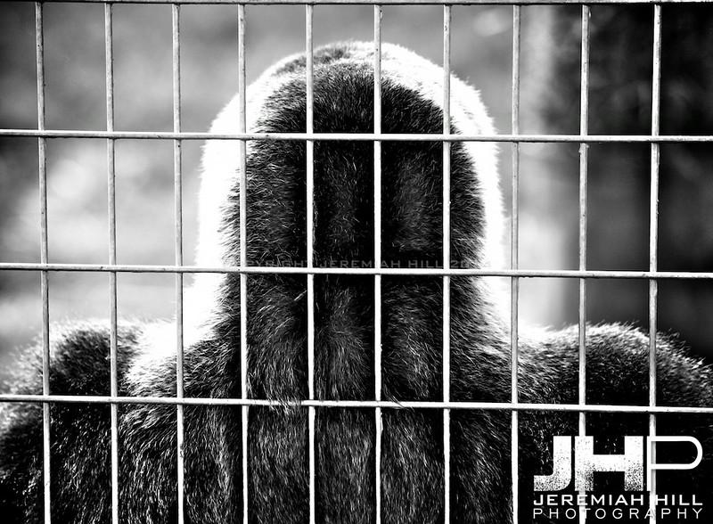 """Toronto Gorilla"", Toronto Zoo, 2013 Print JP13-99-359"