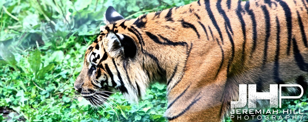 """Toronto Tiger #2"", Toronto Zoo, 2013 Print JP13-99-280"