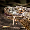 Komodo Speaks with Forked Tongue