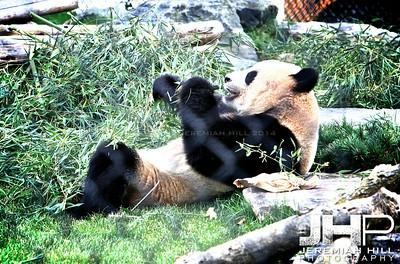 """Toronto Panda #1"", Toronto Zoo, 2013 Print JP13-99-088"