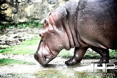 """""""Hippo #1"""", Toronto Zoo, 2013 Print JP13-99-301"""