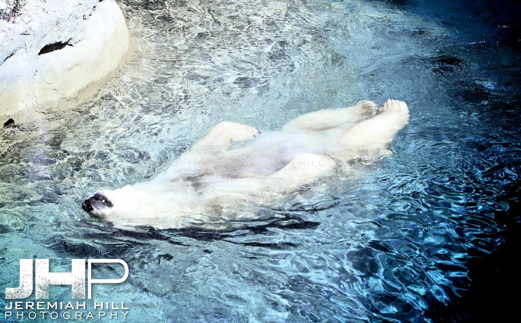 """Toronto Polar Bear #4"", Toronto Zoo, 2013 Print JP13-99-045"