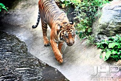 """Toronto Tiger #3"", Toronto Zoo, 2013 Print JP13-99-285"