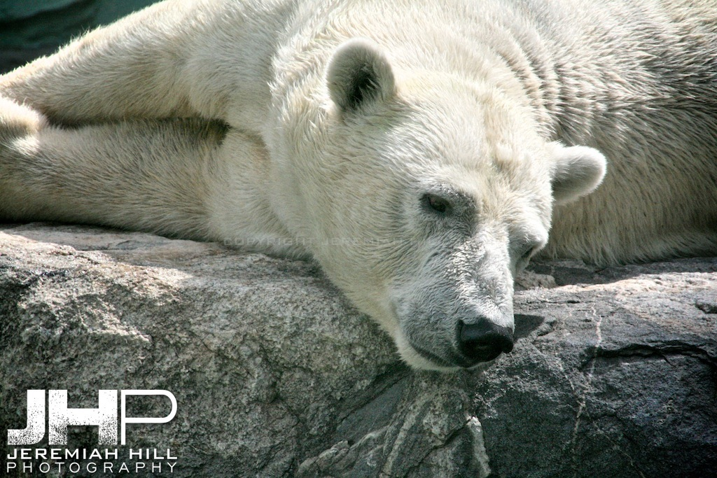 """Korean Polar Bear"", Everland, South Korea, 2006 Print PMAG2106-273"