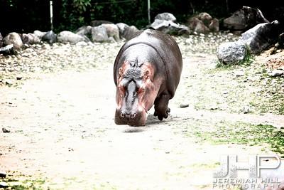 """""""Hippo #3"""", Toronto Zoo, 2013 Print JP13-99-309"""