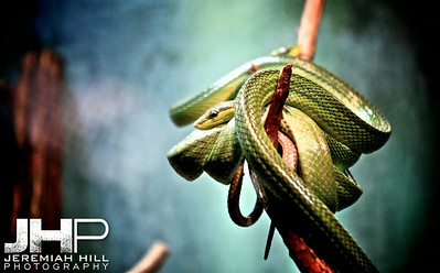"""Curled Snake #3"", Toronto Zoo, 2013 Print JP13-99-249"