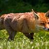Foxy Goes Hunting